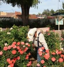 Rose Garden Volunteer
